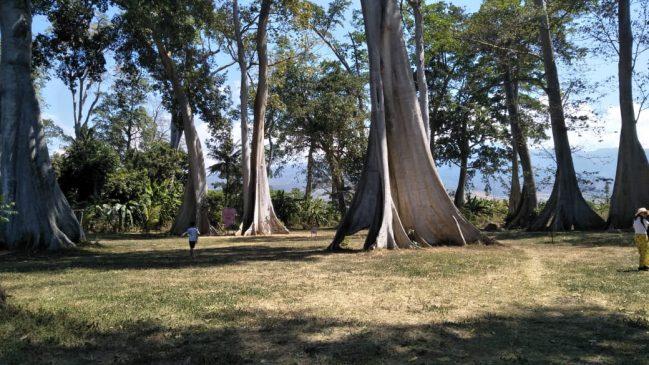 Pohon raksasa di Lombok
